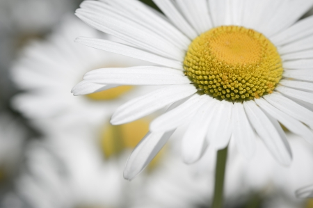 Daisy flower closeup photo
