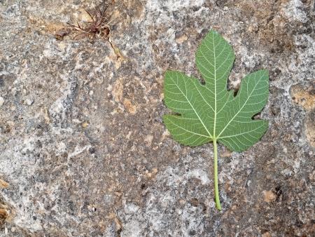 feuille de figuier: Feuille de figuier sur le roc