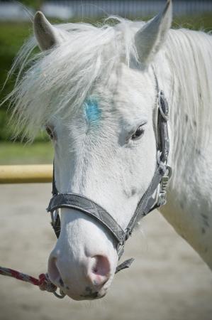snouts: White horse portrait