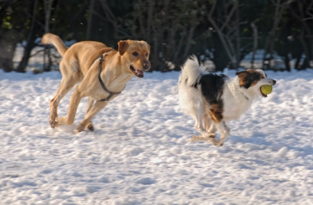 Running dogs on snow, focus on right dog photo