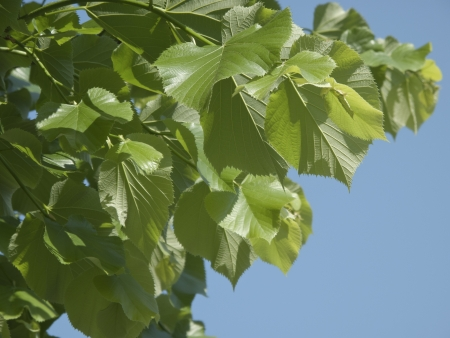 Leaves on a branch of a black poplar tree photo