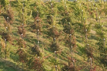 apennines: Vineyards during late summer on Italian Apennines