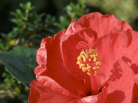 malvales: Closeup of a red Hibiscus flower