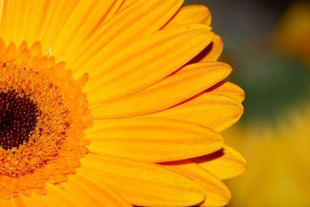 Sunflower Closeup