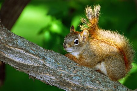 Red Squirrel on Branch Stock Photo