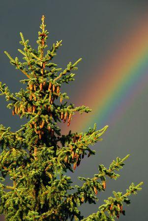 Rainbow Behind Pine Tree