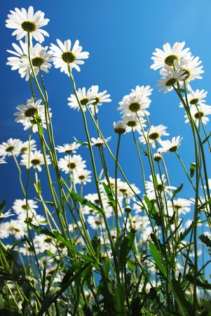 Daisies Reaching for the Sky
