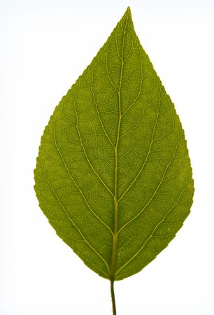 A closeup of a green leaf with interesting veins. Sharp Focus at top of leaf, bottom of leaf falls out of focus. 版權商用圖片