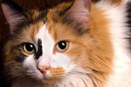 calico cat: A sharp, detailed closeup of a beautiful female calico cat looking at you.