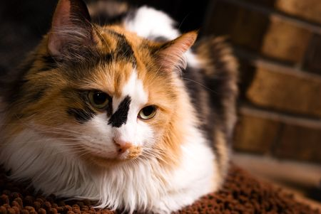calico whiskers: A sharp, detailed closeup of a beautiful female calico cat.