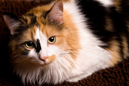 calico whiskers: A sharp, detailed closeup of a beautiful female calico cat looking at you.