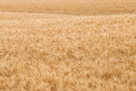 Rolling Wheat Field