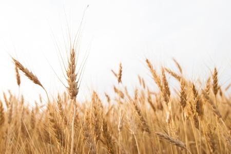 Closeup of Wheat in Field