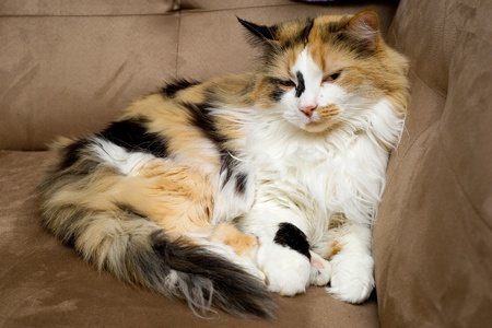 calico: Pet Calico Curled Up on Couch Stock Photo