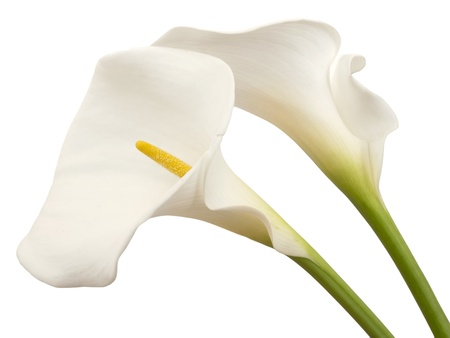 white calla flowers photo