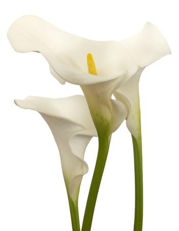 白のオランダカイウ花