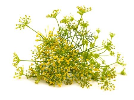 finocchio: fiore di finocchio isolato sul bianco