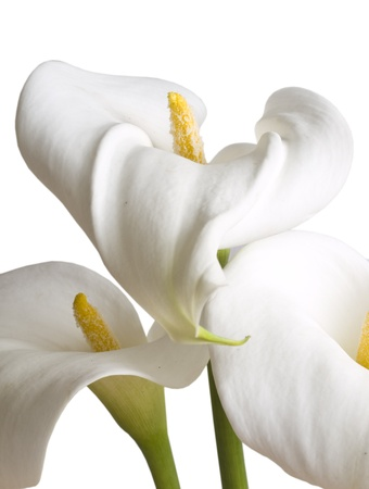 calla flowers isolated on the white photo