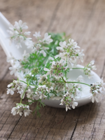 fresh coriander in blossom photo