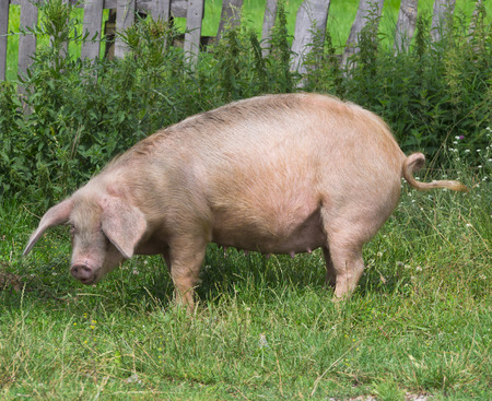 landrace: pig on the grass Stock Photo