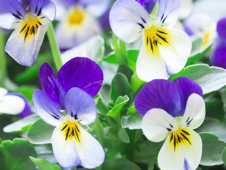 blue violet bright: beautiful violets