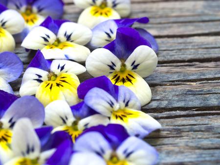 violets: beautiful violets