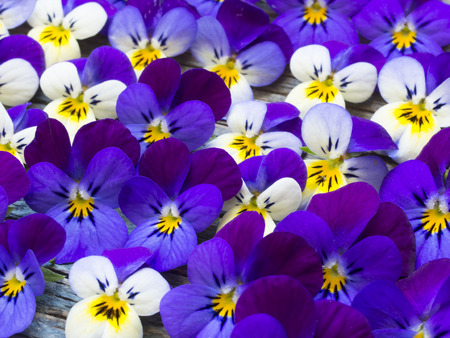 beautiful violets Stock Photo - 39266873