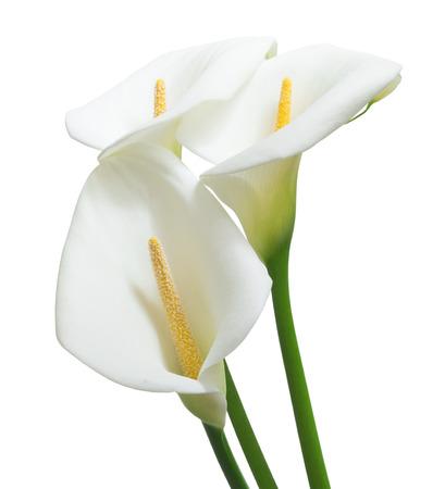 分離された美しいオランダカイウ花 写真素材