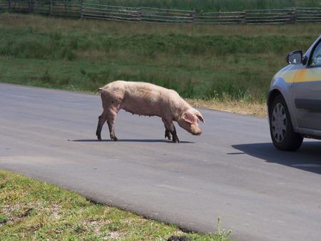 landrace: cerdos que cruzan la carretera