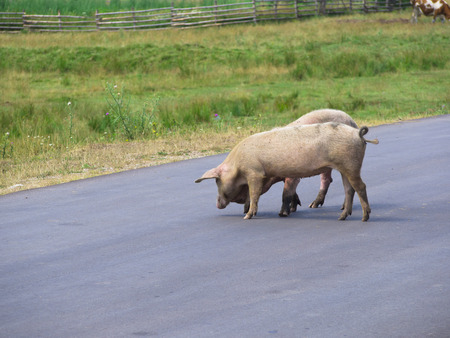 feed the poor: pigs crossing the road Stock Photo