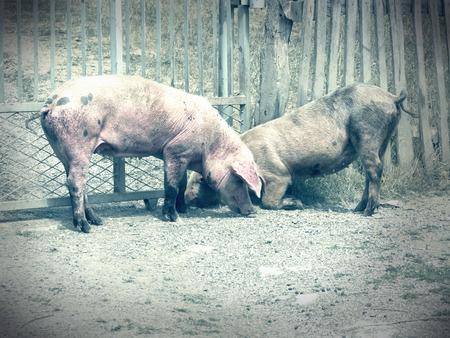 landrace: cerdos en la aldea Foto de archivo