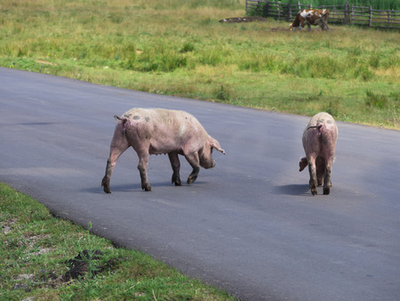 landrace: pigs crossing the road Stock Photo