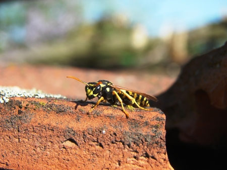 hexapod: Paper wasp close up on the roof