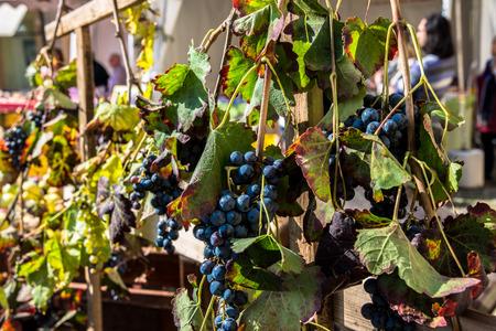 lambrusco: Italian red grapes Stock Photo