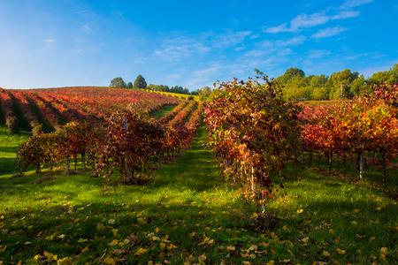 lambrusco: Italian vineyard landscape with colorful meadow