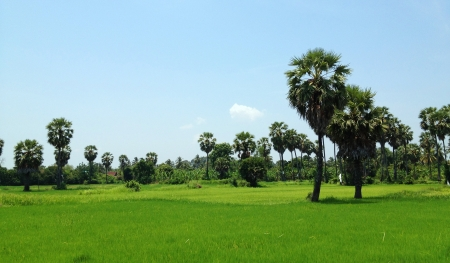 toddy palm: green field with toddy palm Stock Photo