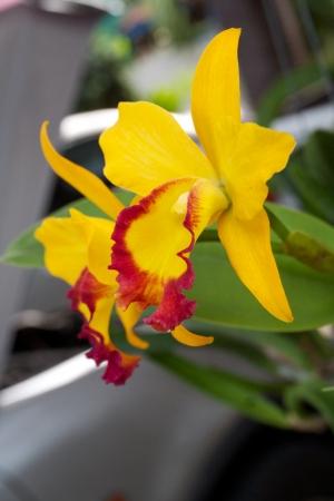 frontyard: yellow orchid in frontyard