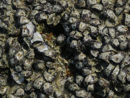 barnacles: barnacles background