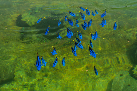 paracanthurus: Regal Pacific blue Tang in a farm, thailand Stock Photo