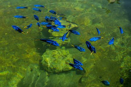 paracanthurus: Regal Pacific blue Tang in a farm, thailand Stock Photo