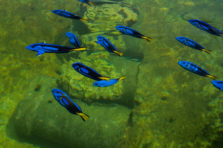 hepatus: Regal Pacific blue Tang in a farm, thailand Stock Photo