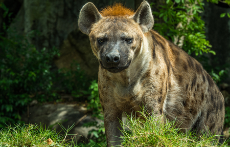 Hyena looking for zookeeper Stock Photo