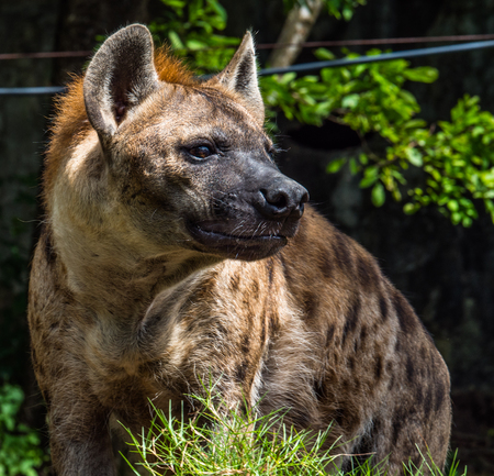 hyena looking for zookeeper