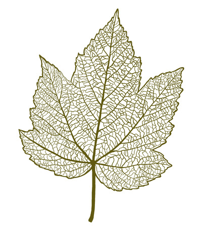 Vector maple leaf isolated