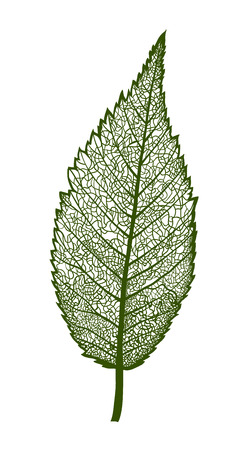 Vector leaf, isolated