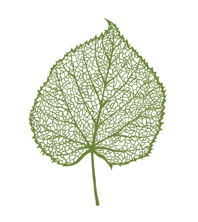 venation: Vector linden leaf, isolated on white background