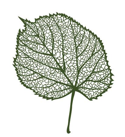 linden: Vector linden leaf, isolated on white background