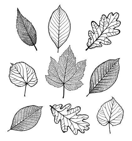 Set of Vector linden, oak, nut, plane tree, maple leaves , isolated on white background Çizim