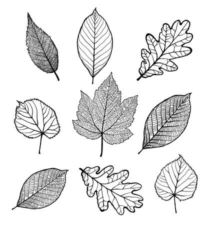 Set of Vector linden, oak, nut, plane tree, maple leaves , isolated on white background Illustration