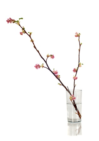 offshoot: Black currant branch in blossom on white background Stock Photo